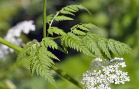 Купырь лесной в народной медицине
