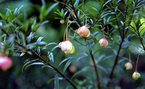 Растение рода бересклетовых стало источником вещества против Паркинсона