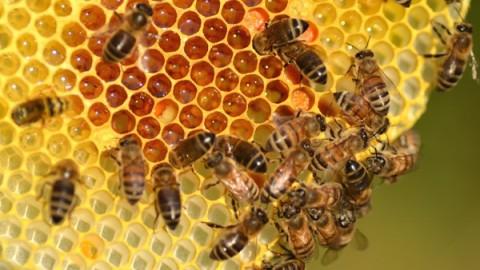 Ученые выяснили, что мед эффективнее антибиотиков