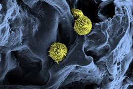 Создана компьютерная модель формирования клеток крови