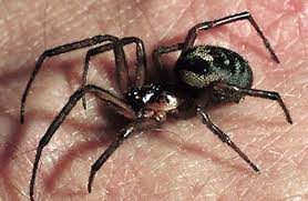 Новое обезболивающее нашли в яде пауков