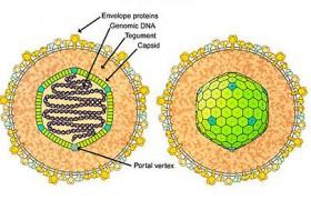 Развитие вируса Эпштейна Барр у детей