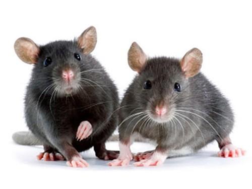 Мышей вылечили от болезни Альцгеймера