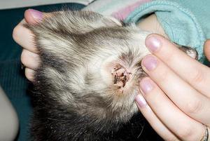 Ушной клещ у кошек: эффективное лечение