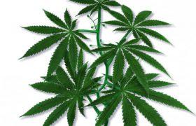 Употребление марихуаны в подростковом возрасте значительно увеличивает риск шизофрении