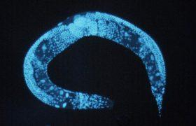 Крошечный червь помогает ученым исследовать молекулярные механизмы страха и тревожности