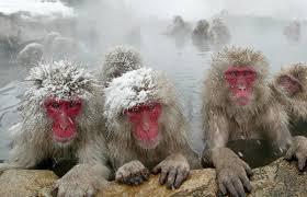 Ученые выяснили, чтояпонские макаки снимают стресс вгорячих источниках