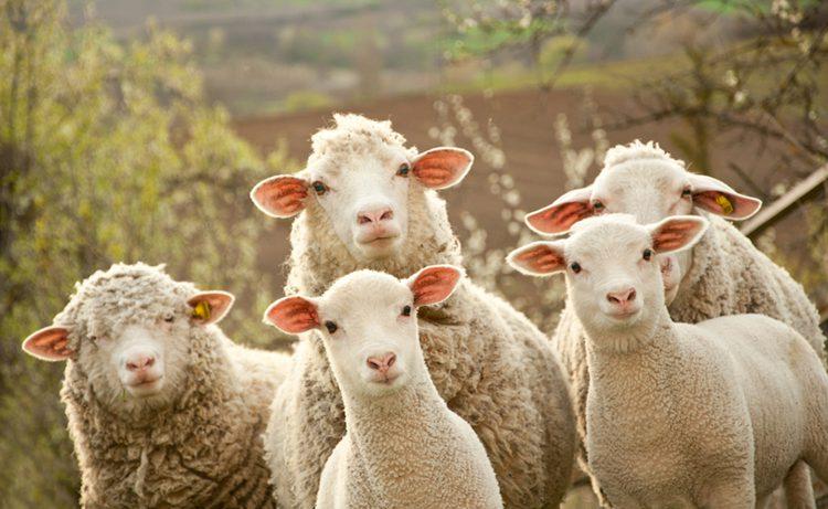 Общение с овцами повышает риск развития рассеянного склероза
