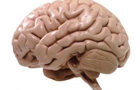 Ученые узнали, чем отличается мозг мыши и человека