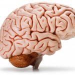 Извилины головного мозга и борозды: строение и функции