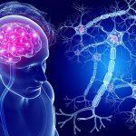 Продолговатый мозг – расположение, строение и главные функции