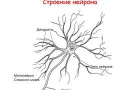 Строение нейрона – все особенности нервной клетки
